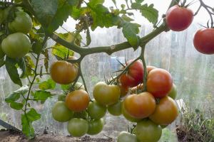 greenhouse_tomatoes